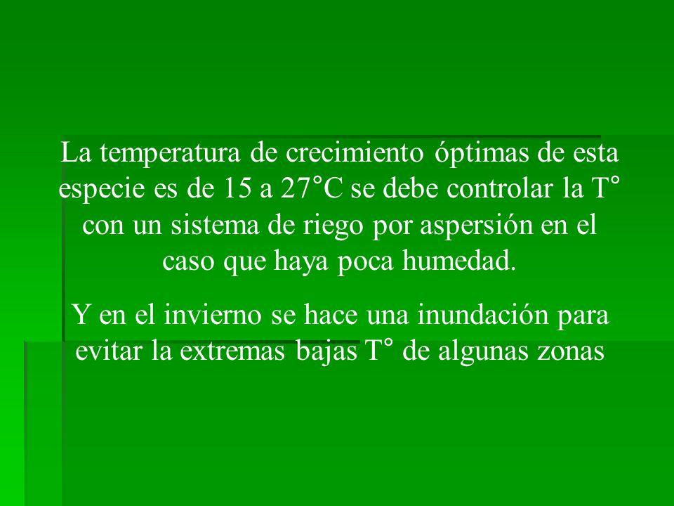 La temperatura de crecimiento óptimas de esta especie es de 15 a 27°C se debe controlar la T° con un sistema de riego por aspersión en el caso que haya poca humedad.