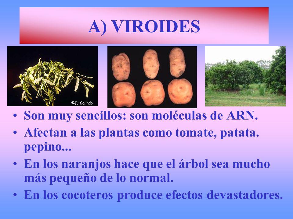 A) VIROIDES Son muy sencillos: son moléculas de ARN.