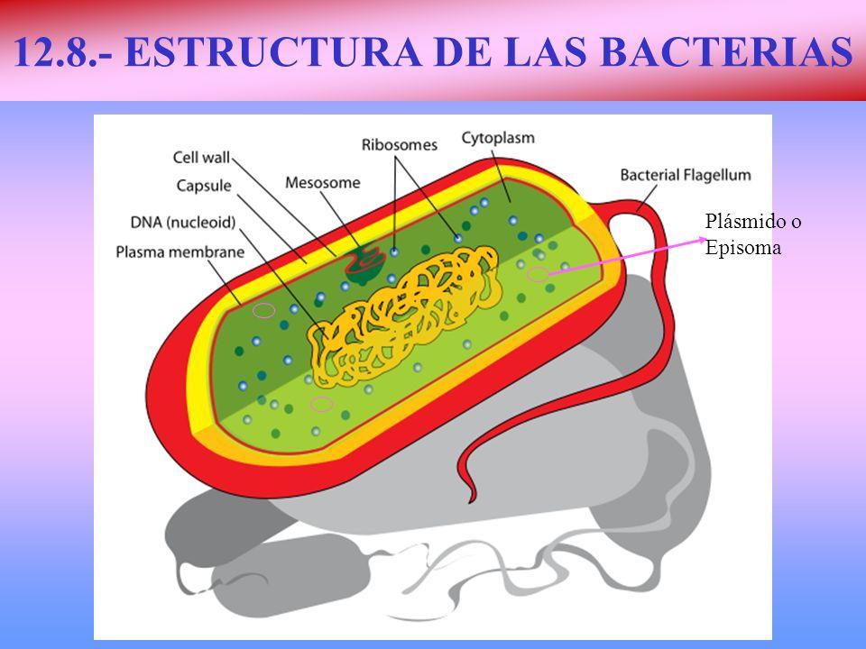 12.8.- ESTRUCTURA DE LAS BACTERIAS