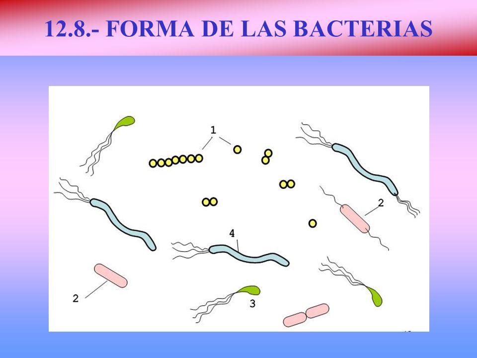 12.8.- FORMA DE LAS BACTERIAS