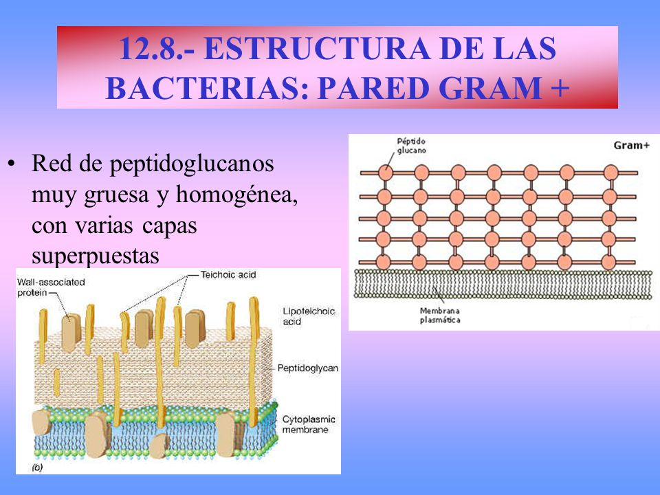 12.8.- ESTRUCTURA DE LAS BACTERIAS: PARED GRAM +