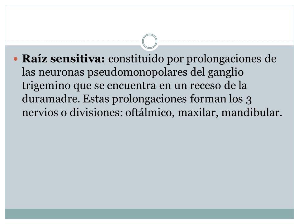 Raíz sensitiva: constituido por prolongaciones de las neuronas pseudomonopolares del ganglio trigemino que se encuentra en un receso de la duramadre.