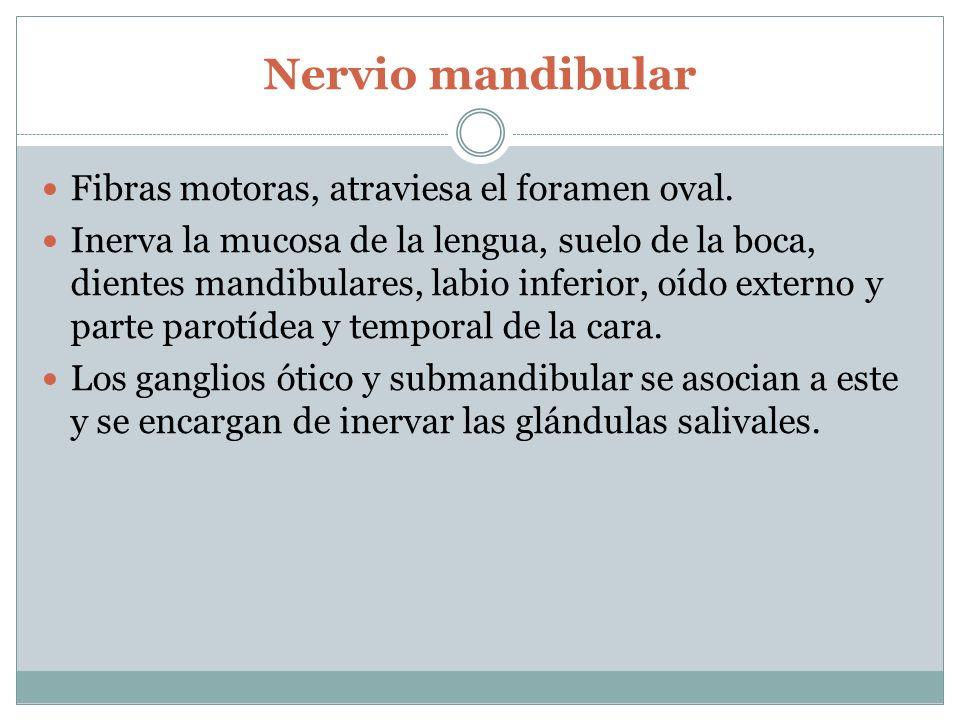 Nervio mandibular Fibras motoras, atraviesa el foramen oval.