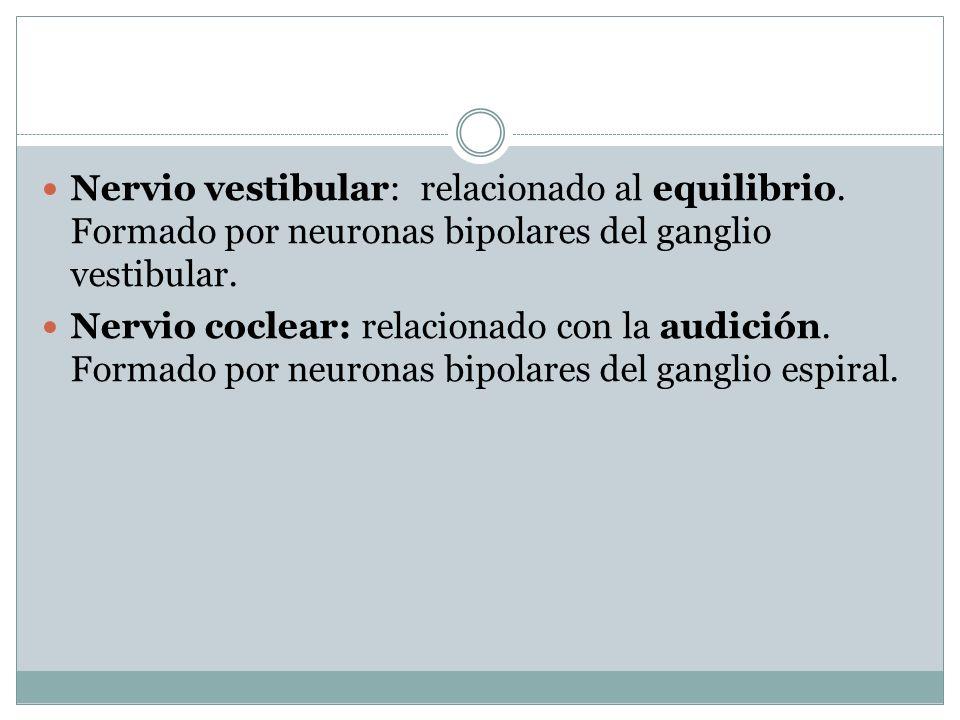 Nervio vestibular: relacionado al equilibrio