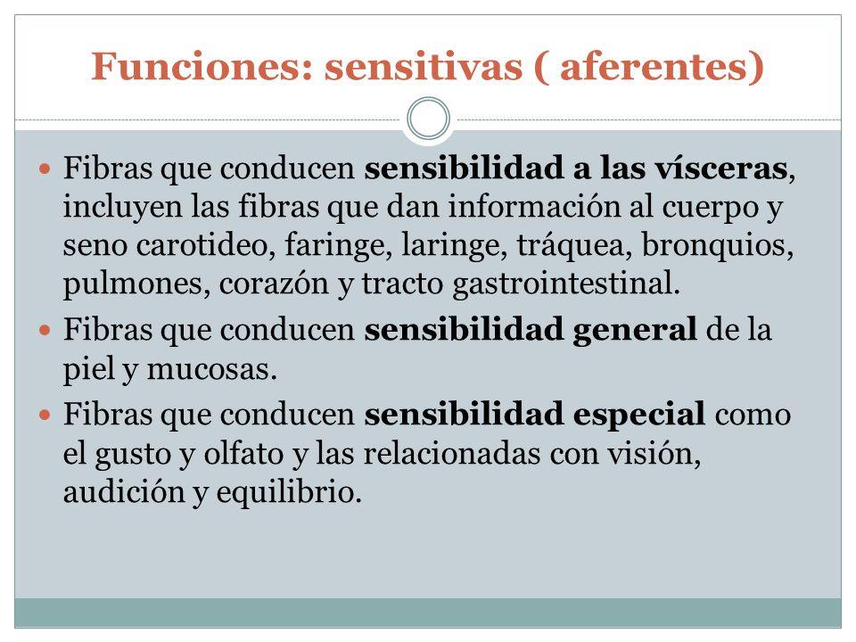 Funciones: sensitivas ( aferentes)