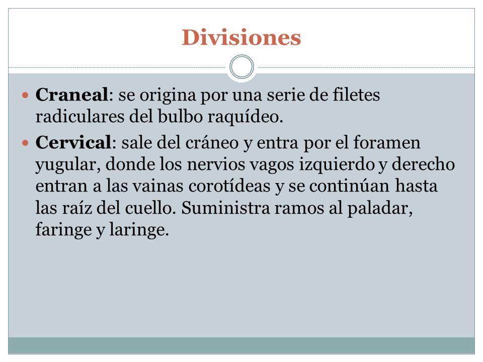 Divisiones Craneal: se origina por una serie de filetes radiculares del bulbo raquídeo.