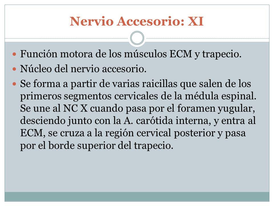 Nervio Accesorio: XI Función motora de los músculos ECM y trapecio.