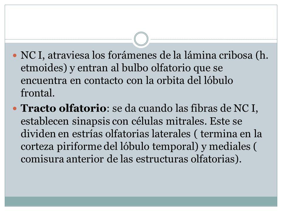 NC I, atraviesa los forámenes de la lámina cribosa (h