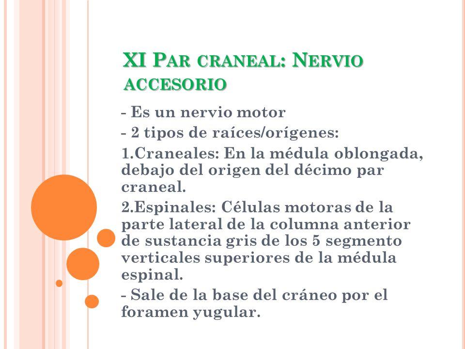 XI Par craneal: Nervio accesorio