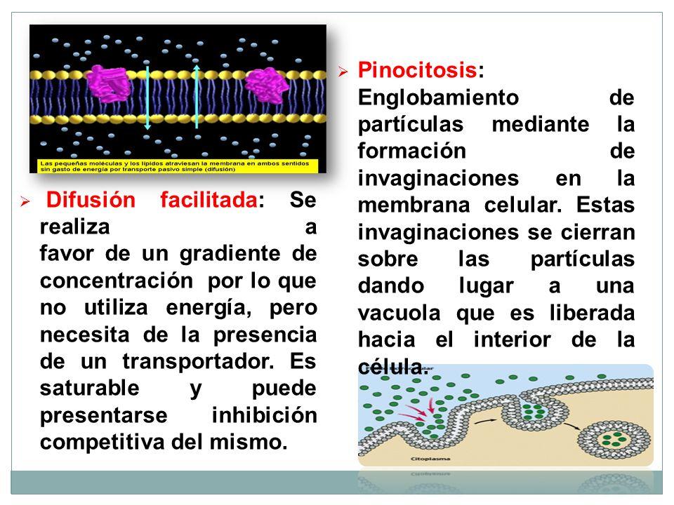 Pinocitosis: Englobamiento de partículas mediante la formación de invaginaciones en la membrana celular. Estas invaginaciones se cierran sobre las partículas dando lugar a una vacuola que es liberada hacia el interior de la célula.
