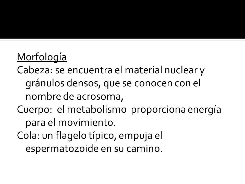 Morfología Cabeza: se encuentra el material nuclear y gránulos densos, que se conocen con el nombre de acrosoma,