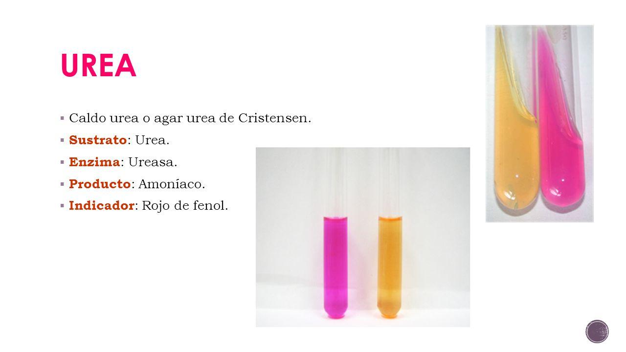UREA Caldo urea o agar urea de Cristensen. Sustrato: Urea.