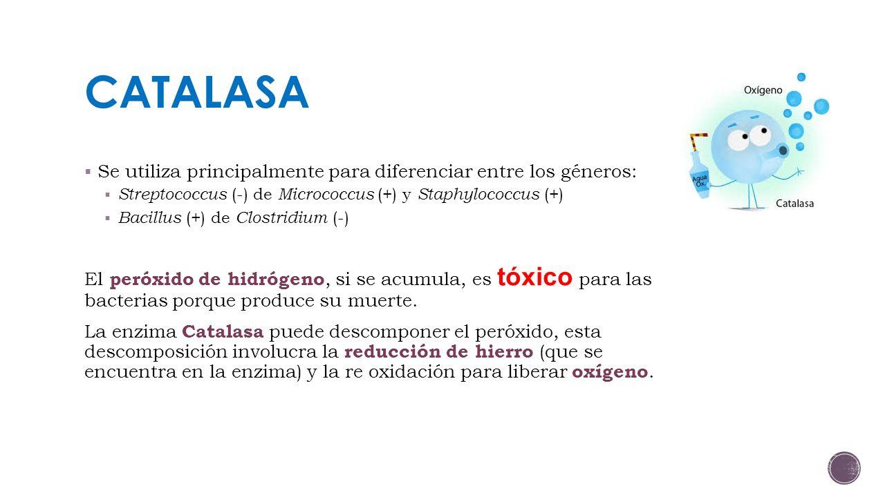 CATALASA Se utiliza principalmente para diferenciar entre los géneros: