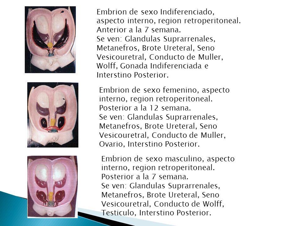 Embrion de sexo Indiferenciado, aspecto interno, region retroperitoneal. Anterior a la 7 semana.