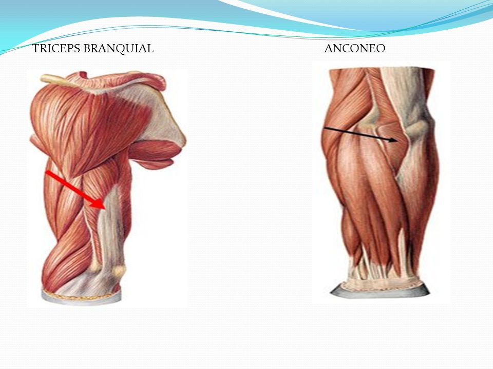 TRICEPS BRANQUIAL ANCONEO