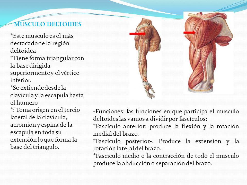 Funcion Y Ubicacion Del Musculo Deltoides – Pretty Girls