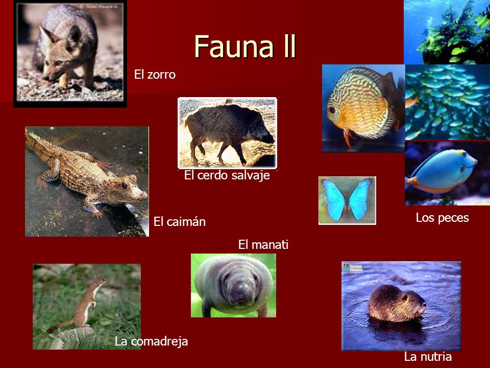 Fauna ll El zorro El cerdo salvaje Los peces El caimán El manati