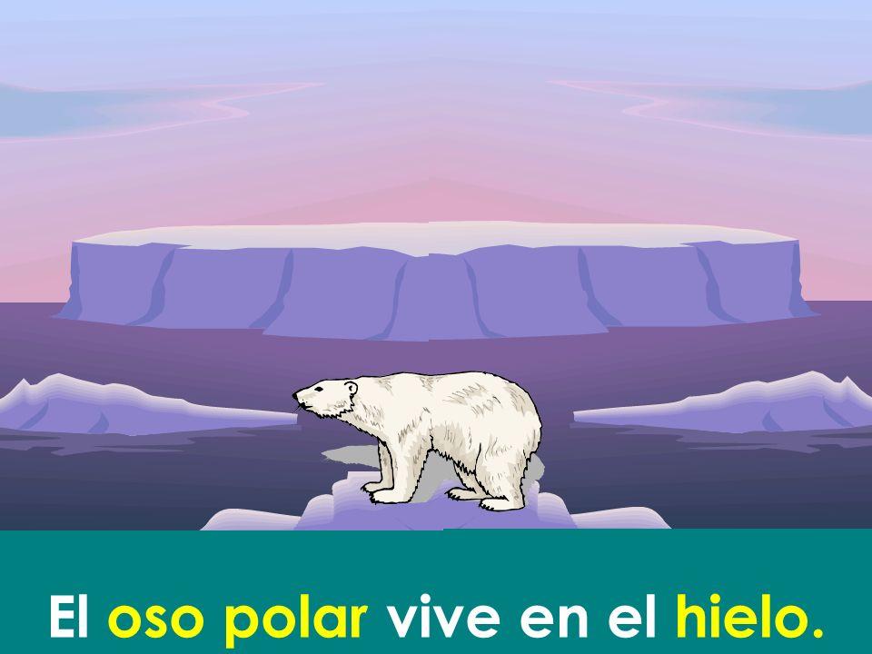 El oso polar vive en el hielo.