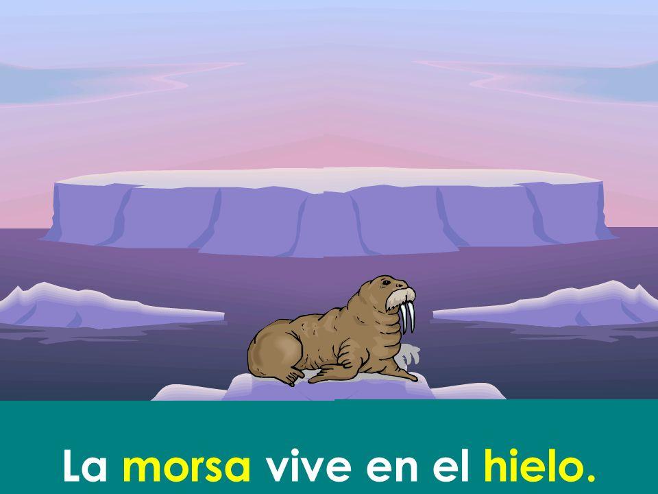 La morsa vive en el hielo.
