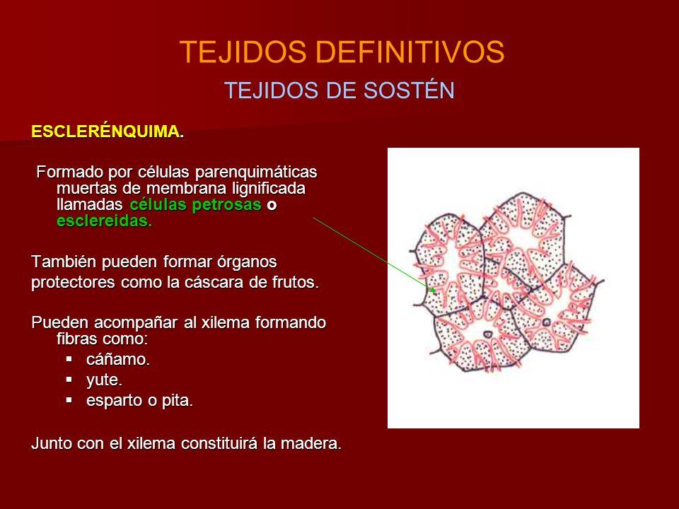 TEJIDOS DEFINITIVOS TEJIDOS DE SOSTÉN ESCLERÉNQUIMA.