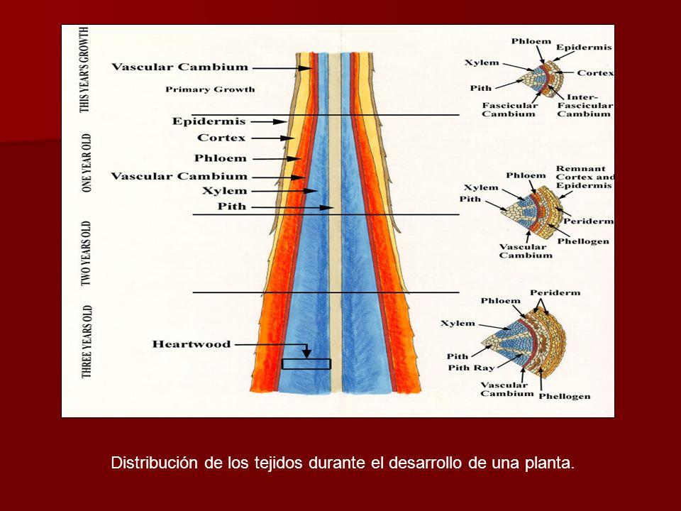 Distribución de los tejidos durante el desarrollo de una planta.