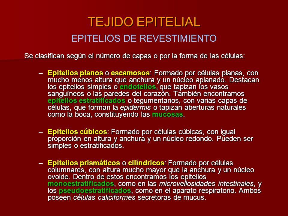 EPITELIOS DE REVESTIMIENTO