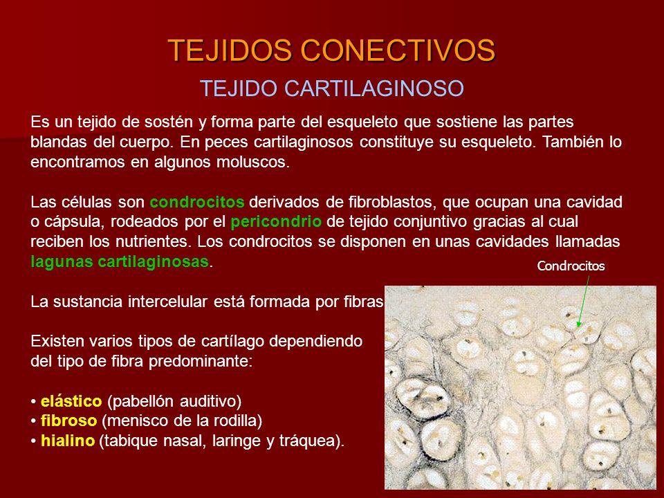 TEJIDOS CONECTIVOS TEJIDO CARTILAGINOSO