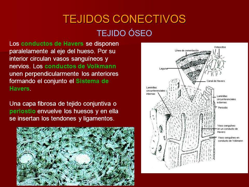TEJIDOS CONECTIVOS TEJIDO ÓSEO