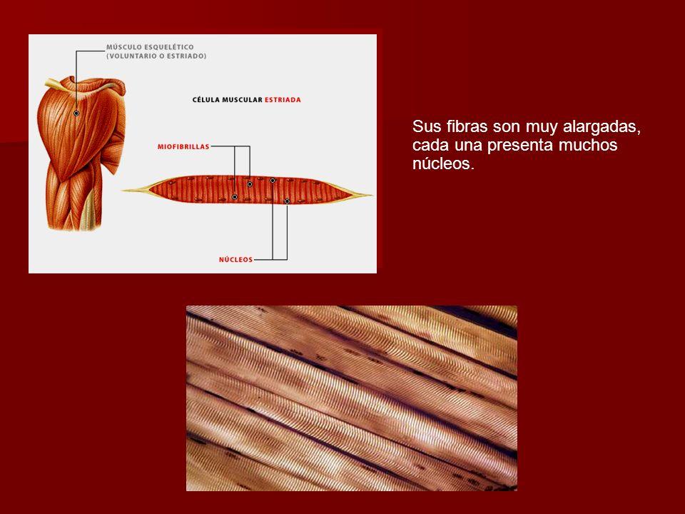 Sus fibras son muy alargadas, cada una presenta muchos núcleos.