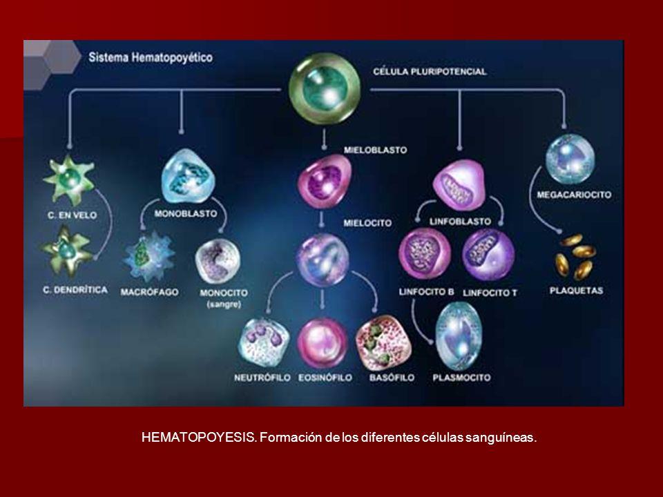 HEMATOPOYESIS. Formación de los diferentes células sanguíneas.