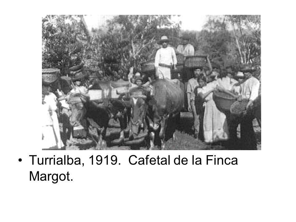 Turrialba, 1919. Cafetal de la Finca Margot.