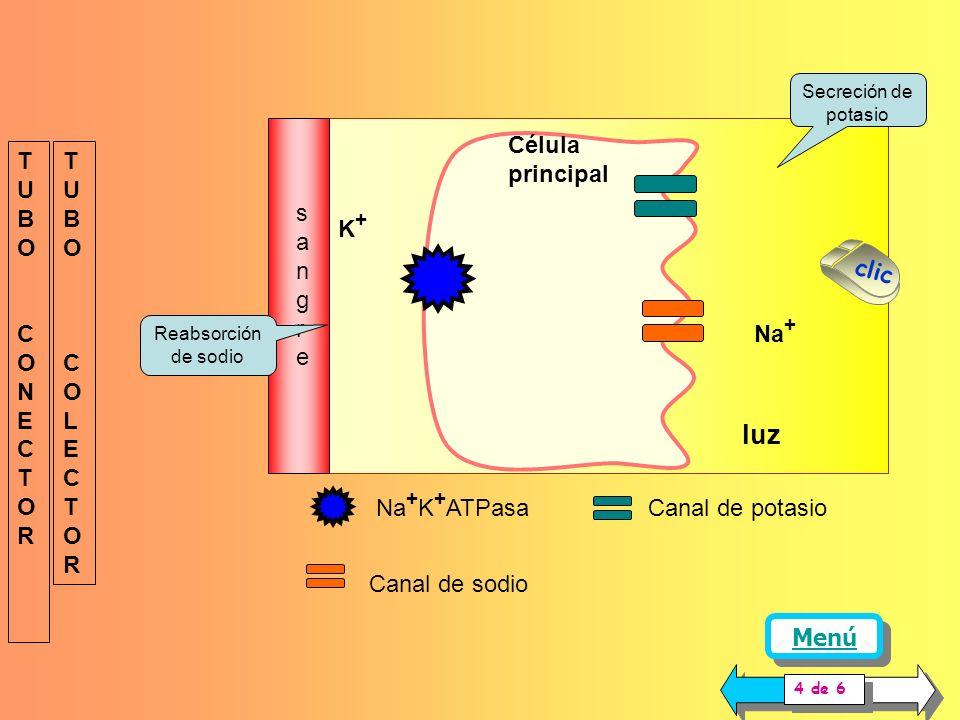 luz Célula principal sangre TUBO CONECTOR TUBO COLECTOR K+ clic Na+