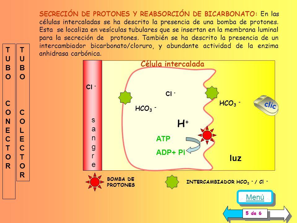 H+ luz TUBO CONECTOR TUBO COLECTOR Célula intercalada sangre clic ATP