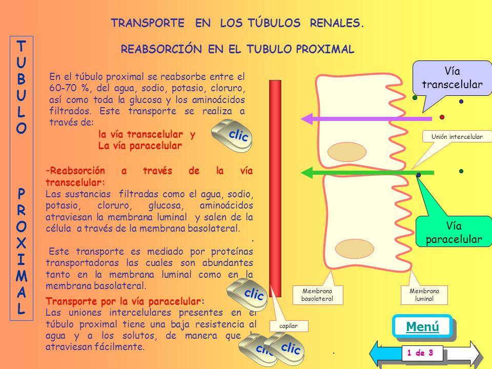 TRANSPORTE EN LOS TÚBULOS RENALES. REABSORCIÓN EN EL TUBULO PROXIMAL