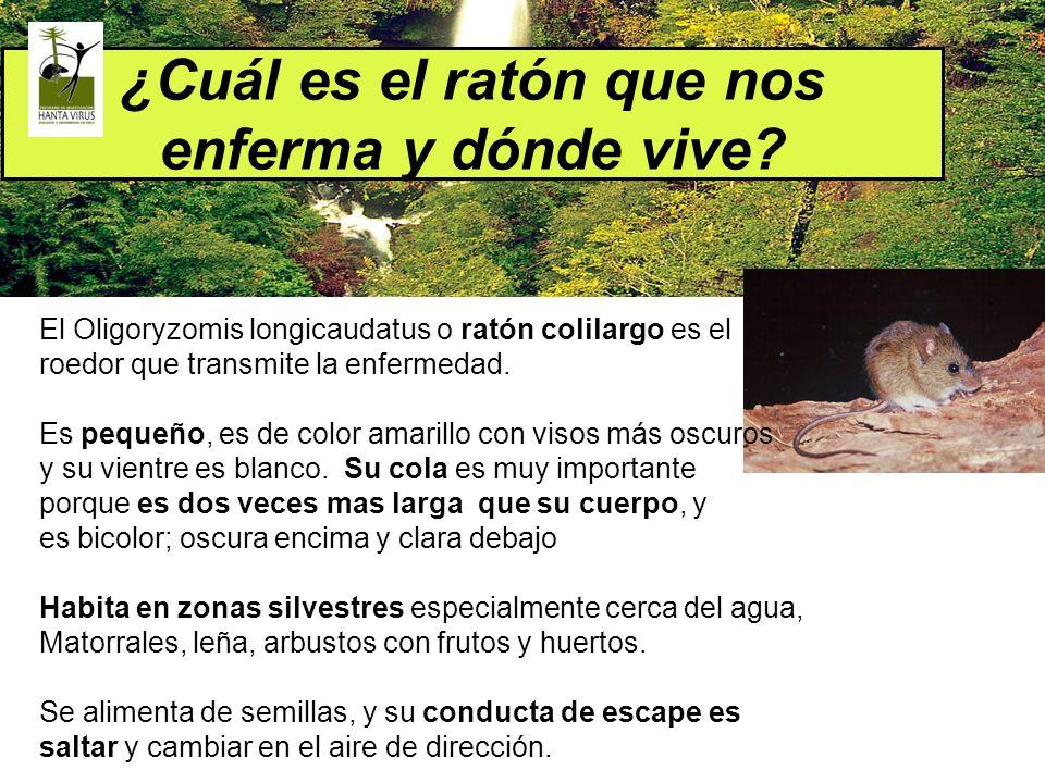 ¿Cuál es el ratón que nos enferma y dónde vive