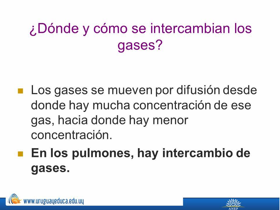 ¿Dónde y cómo se intercambian los gases