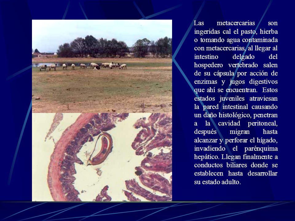 Las metacercarias son ingeridas cal el pasto, hierba o tomando agua contaminada con metacercarias, al llegar al intestino delgado del hospedero vertebrado salen de su cápsula por acción de enzimas y jugos digestivos que ahí se encuentran.