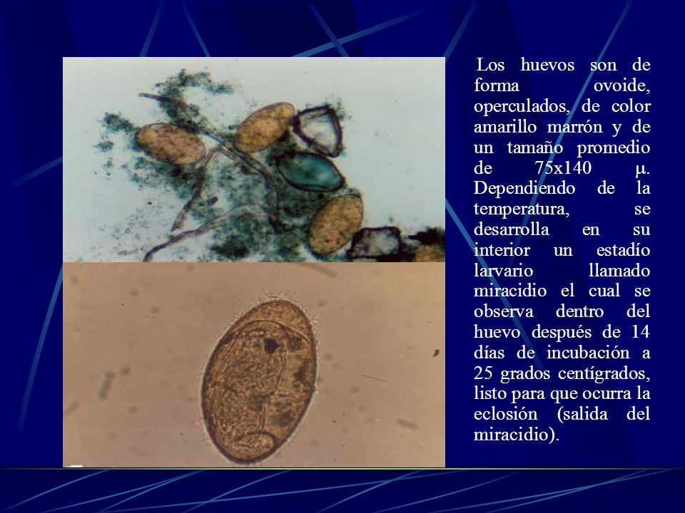 Los huevos son de forma ovoide, operculados, de color amarillo marrón y de un tamaño promedio de 75x140 .