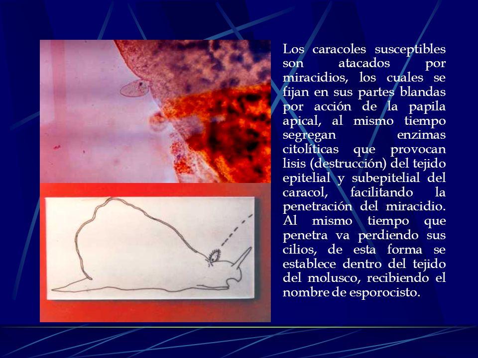Los caracoles susceptibles son atacados por miracidios, los cuales se fijan en sus partes blandas por acción de la papila apical, al mismo tiempo segregan enzimas citolíticas que provocan lisis (destrucción) del tejido epitelial y subepitelial del caracol, facilitando la penetración del miracidio.
