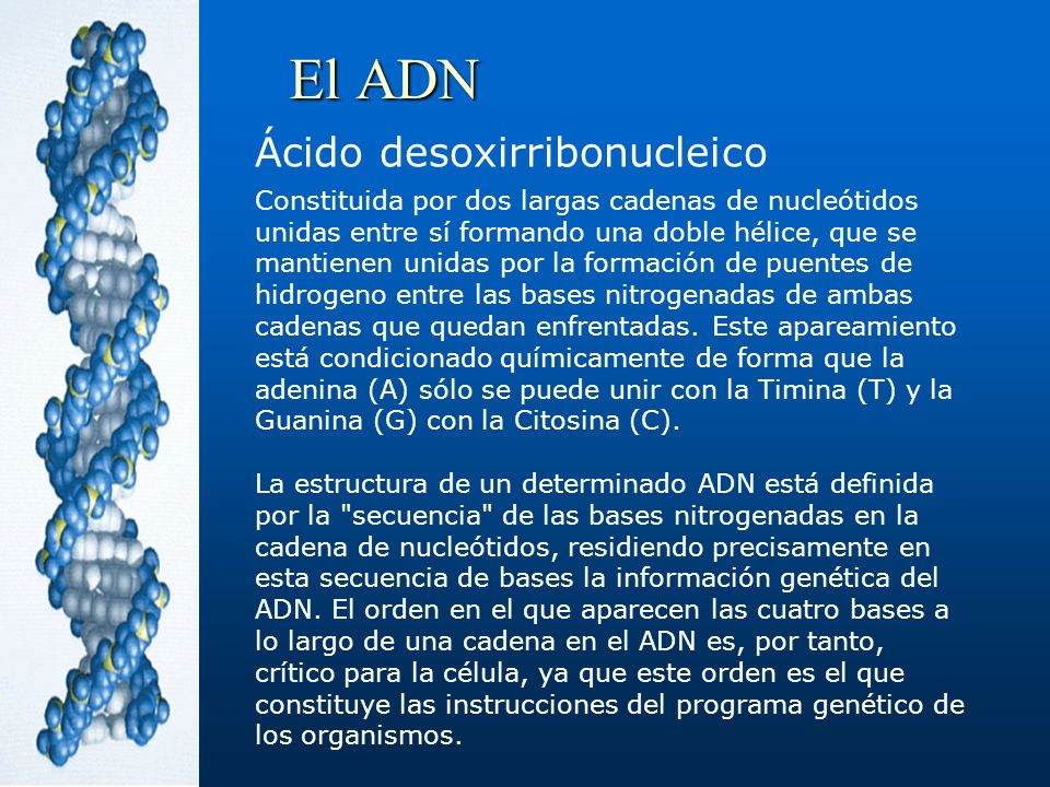 El ADN Ácido desoxirribonucleico