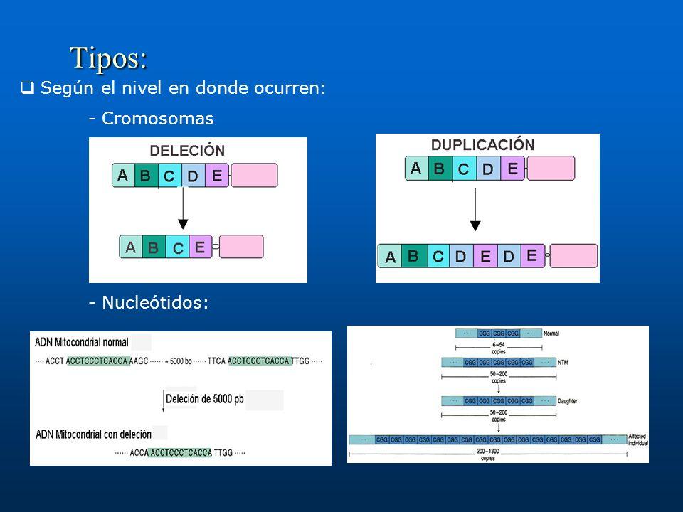 Tipos: Según el nivel en donde ocurren: - Cromosomas - Nucleótidos: