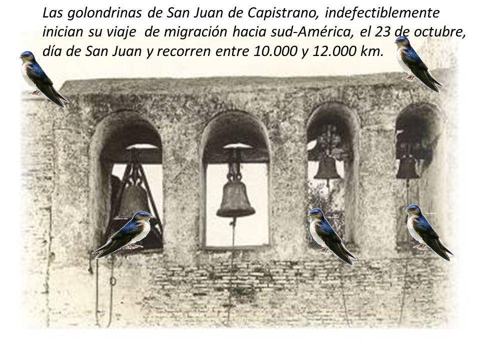 Las golondrinas de San Juan de Capistrano, indefectiblemente inician su viaje de migración hacia sud-América, el 23 de octubre, día de San Juan y recorren entre 10.000 y 12.000 km.