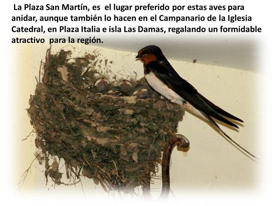 La Plaza San Martín, es el lugar preferido por estas aves para anidar, aunque también lo hacen en el Campanario de la Iglesia Catedral, en Plaza Italia e isla Las Damas, regalando un formidable atractivo para la región.
