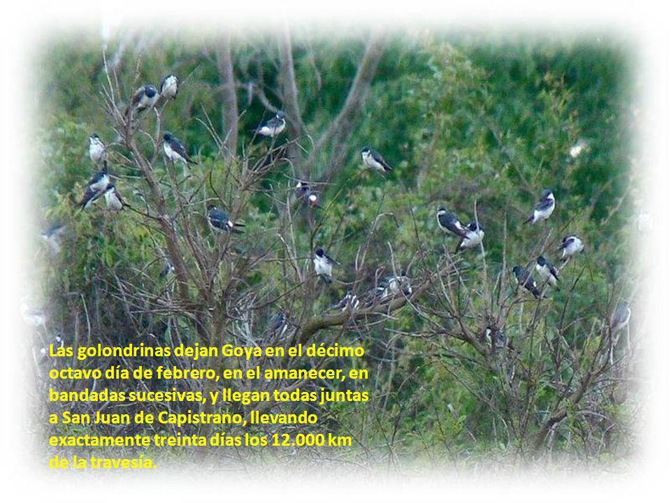 Las golondrinas dejan Goya en el décimo octavo día de febrero, en el amanecer, en bandadas sucesivas, y llegan todas juntas a San Juan de Capistrano, llevando exactamente treinta días los 12.000 km de la travesía.
