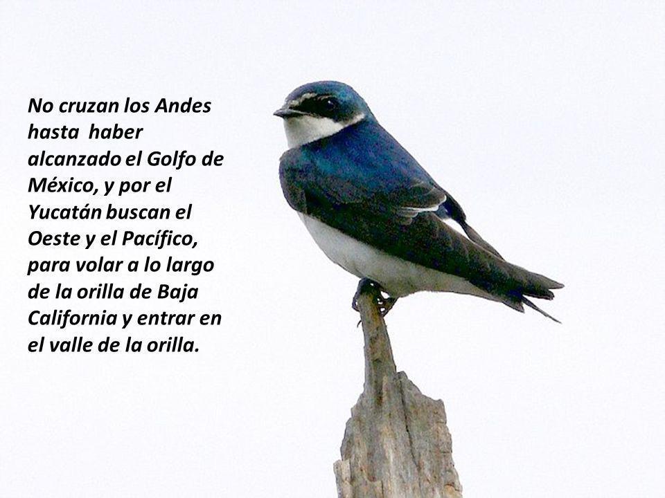 No cruzan los Andes hasta haber alcanzado el Golfo de México, y por el Yucatán buscan el Oeste y el Pacífico, para volar a lo largo de la orilla de Baja California y entrar en el valle de la orilla.