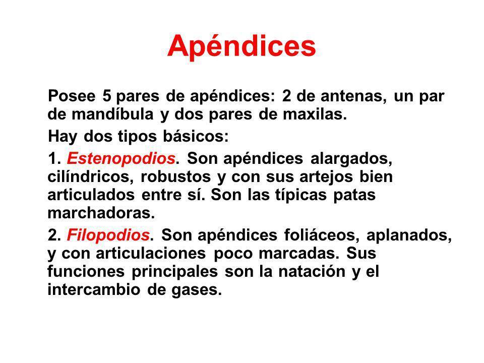 Apéndices Posee 5 pares de apéndices: 2 de antenas, un par de mandíbula y dos pares de maxilas. Hay dos tipos básicos: