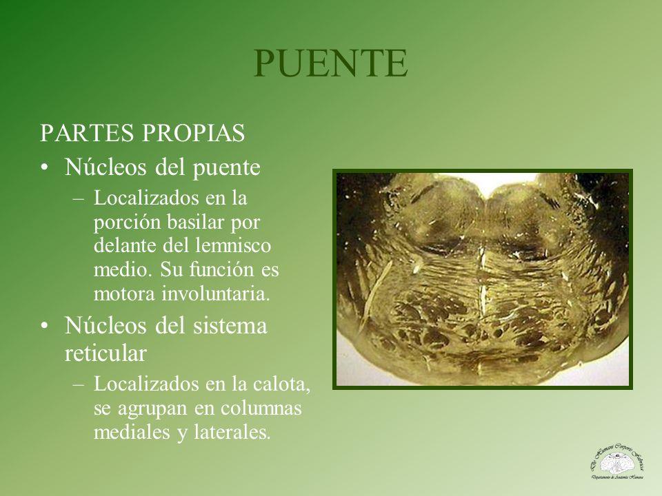 PUENTE PARTES PROPIAS Núcleos del puente Núcleos del sistema reticular