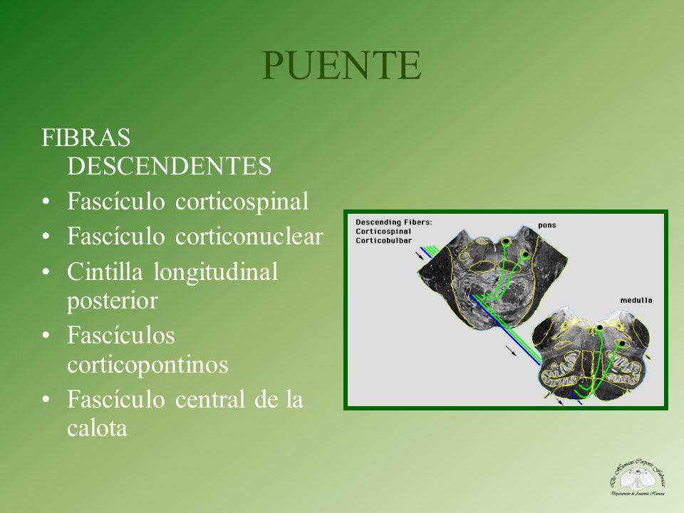 PUENTE FIBRAS DESCENDENTES Fascículo corticospinal