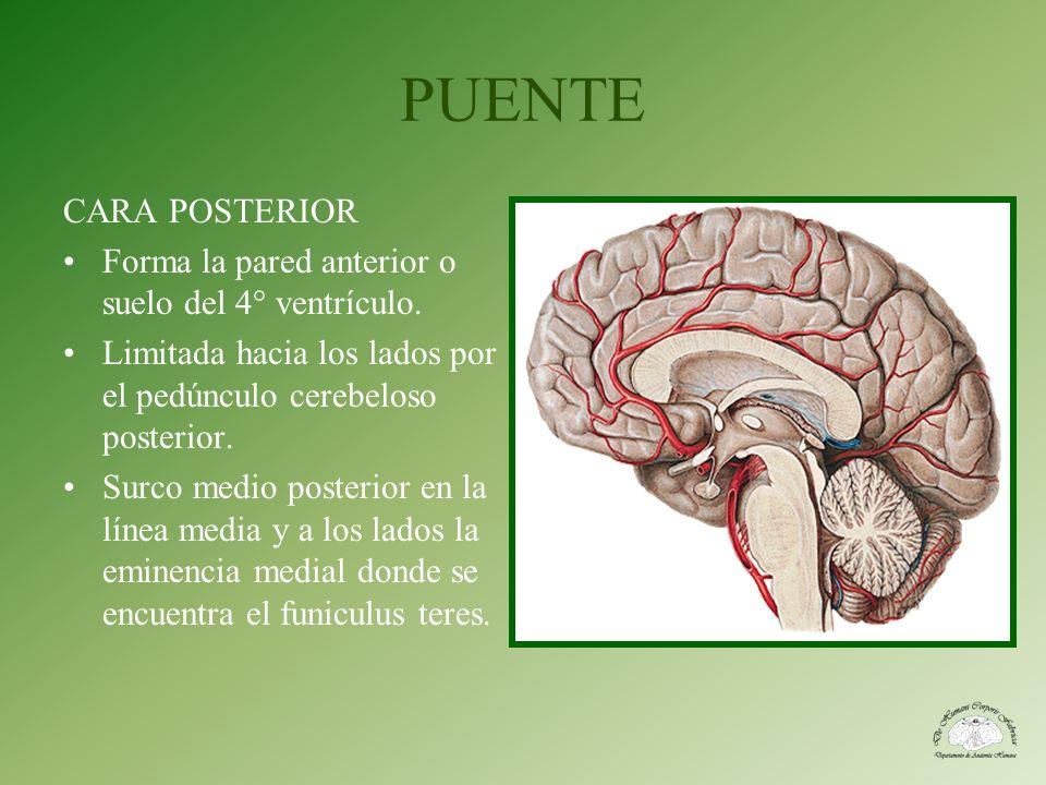PUENTE CARA POSTERIOR. Forma la pared anterior o suelo del 4° ventrículo. Limitada hacia los lados por el pedúnculo cerebeloso posterior.