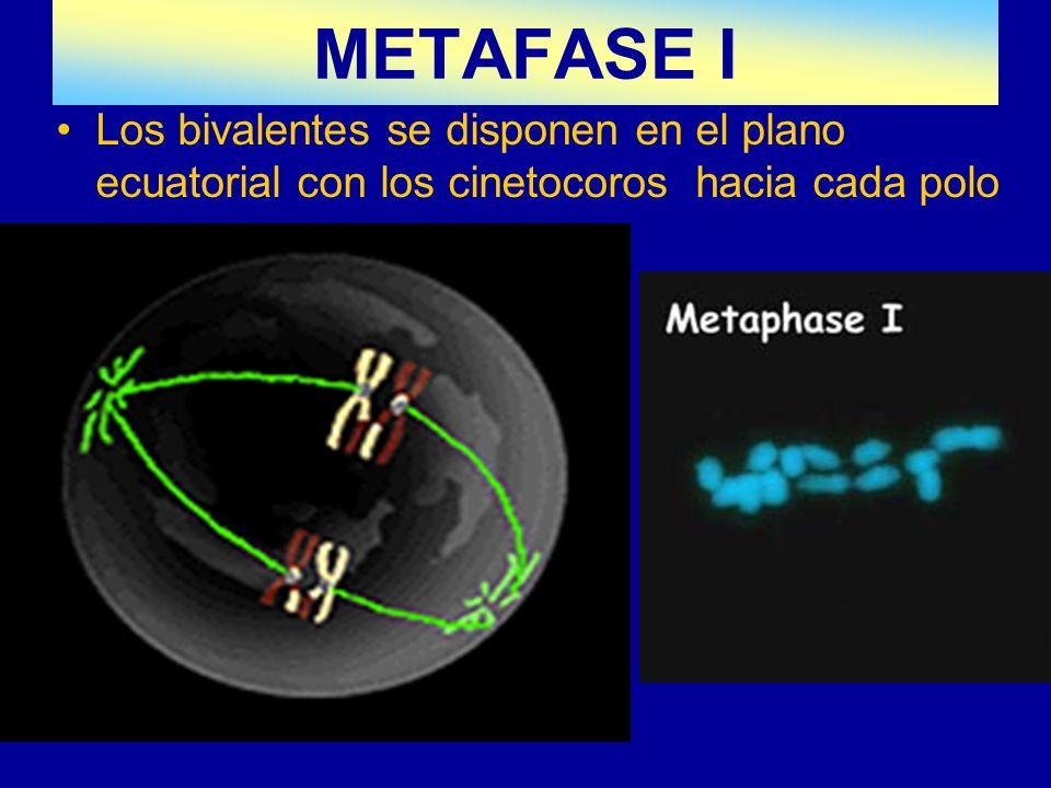 METAFASE I Los bivalentes se disponen en el plano ecuatorial con los cinetocoros hacia cada polo